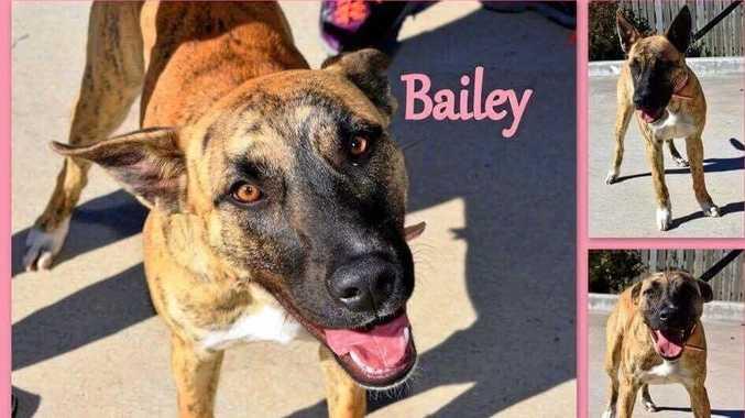 HAPPY: Bailey the bull terrier cross.