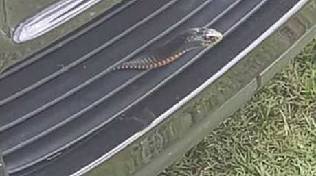 This red belly black was removed from the grill of a car by Fraser Coast Snake Catchers last week.