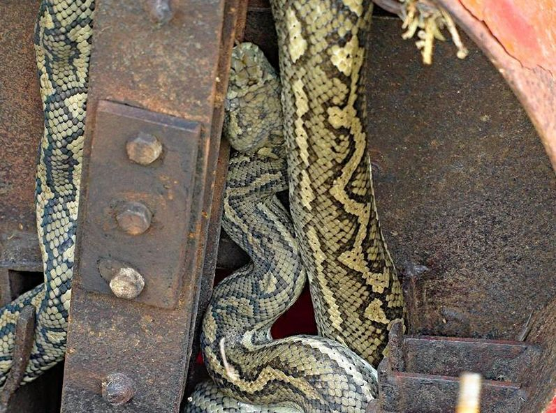 LUCKY ESCAPE: This sleepy carpet python was discovered coiled around a wood chipper on a Fraser Coast farm.