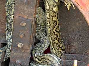 SNAKES ON THE MOVE: Dicey decision for snake seeking shelter