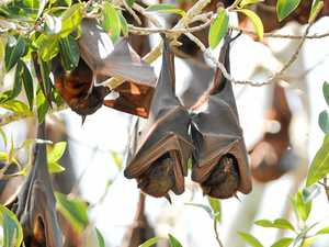 Flying foxes cause issues in Eidsvold