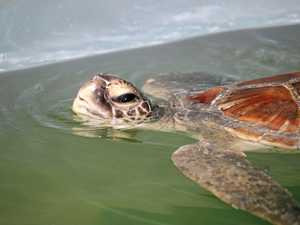 WATCH: Perfect day to release turtles back into the ocean
