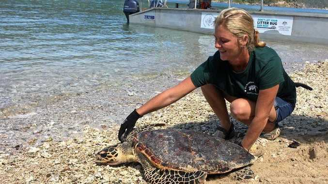 BACK IN THE WATER: Libby Edge of Eco Barge Clean Seas releases a critically endangered hawksbill turtle back into the wild.