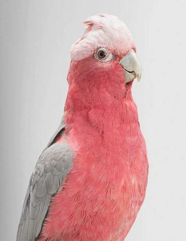 FILE PHOTO: A Galah and three Indian Ring Necked Parakeets were stolen from a River Rd Property.