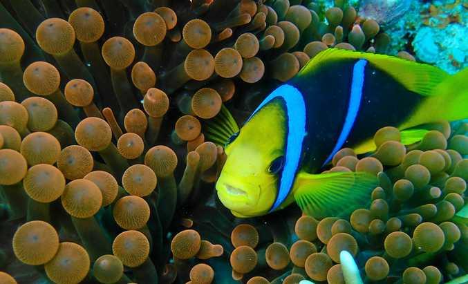 WONDERS OF THE DEEP: A clownfish.