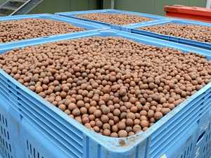 Record rainfall 'significantly' impacted macadamia crops
