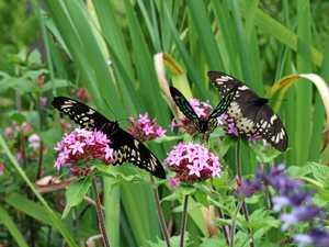 Rare Richmond Birdwing seen on flowers in valley