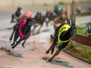 BLACK BEAR: The ultra-impressive Bokarm Bear (left), who was a close runner-up in the 2017 Taylor Family Maiden Final, will be aiming to add to his unbeaten record over the 480m at Grafton tonight.