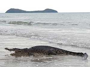 Huge croc wanders out of surf, Katter on warpath