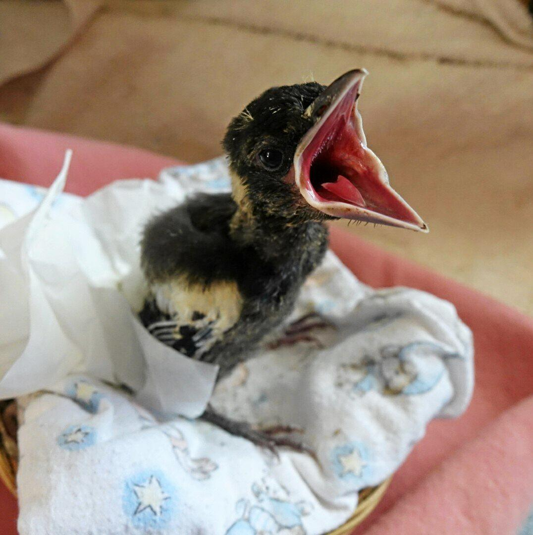 Baby magpie is in care with WIRES.