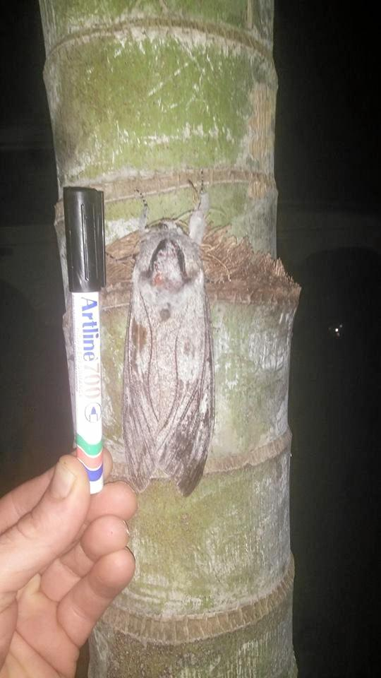 MOTH-ER OF A MOTH: David Molony posted this photo of a giant moth on the Agnes Water Community Facebook page.