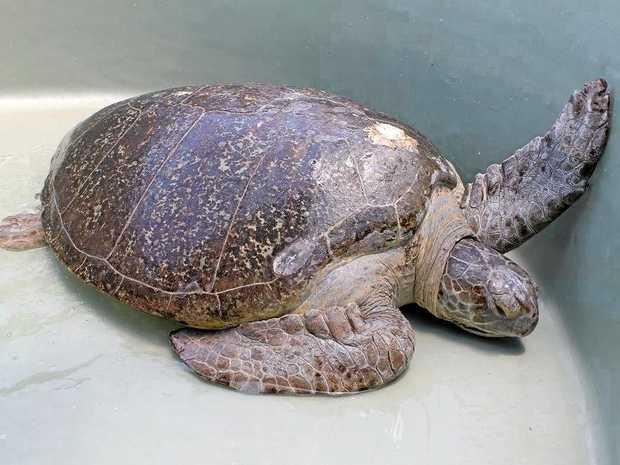 FLINNY?: GAWB wants to name this 200kg turtle.