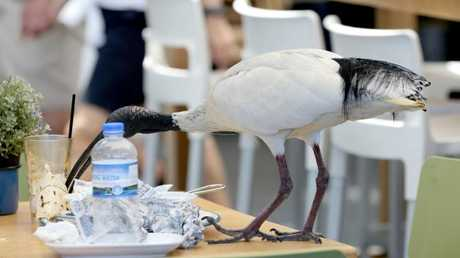 Ibis eating the scraps left by diners at Surfers Paradise. Picture: Mike Batterham