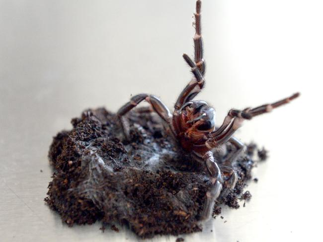 A funnel-web spider that was recently handed into the Mona Vale Vet clinic in New South Wales. Picture: Jeremy Piper
