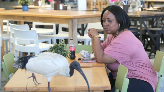 Ibis are harassing patrons at a strip of shops at Surfers Paradise.