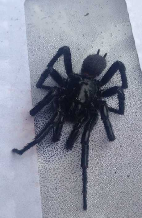 This funnel-web spider was found in the NSW suburb of Springwood. Picture: Bec Sheedy