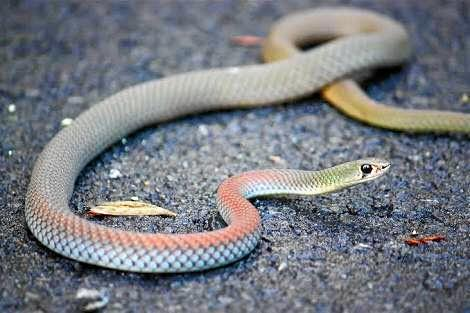 Snakes of the Fraser Coast.