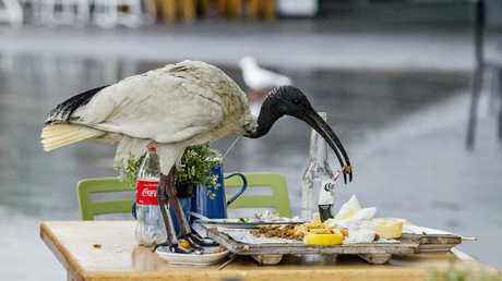 An ibis in Surfers Paradise. Picture: Jerad Williams