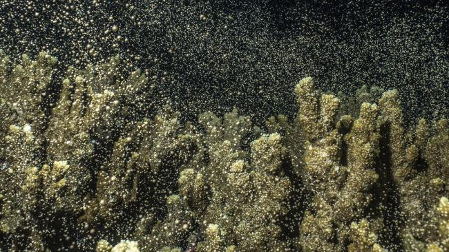 Coral spawning at Flynn Reef — Gordon's Bommie in December 2017. MUST CREDIT: Arek Mszyca — Pro Dive Cairns