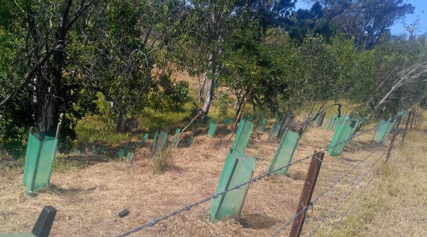 CLEAN AND GREEN: The restoration project in Gayndah is part of the 20 Million Trees Initiative.