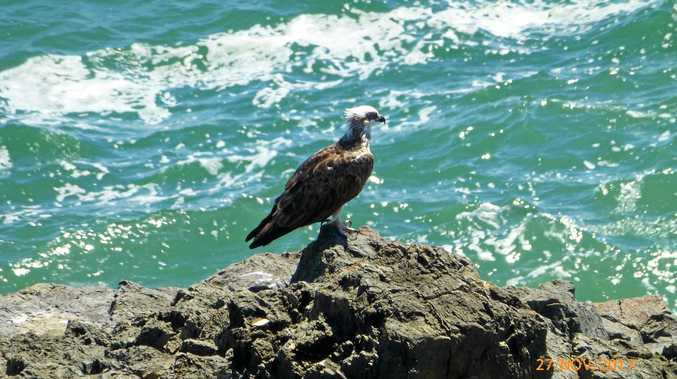 PHOTO OF THE DAY: Ala Hartley spotted this bird on the Goanna Headland at Evans Head.