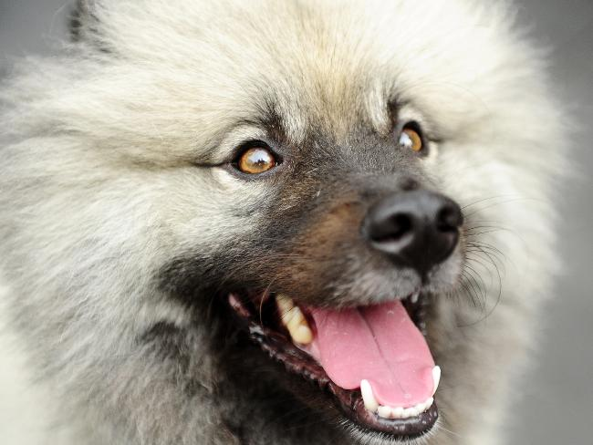 The pup is believed to have been a Keeshond. Picture: John Appleyard