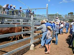 Cattle prices should remain steady into new year