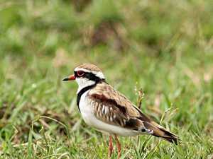 Meet the black-fronted dotterel