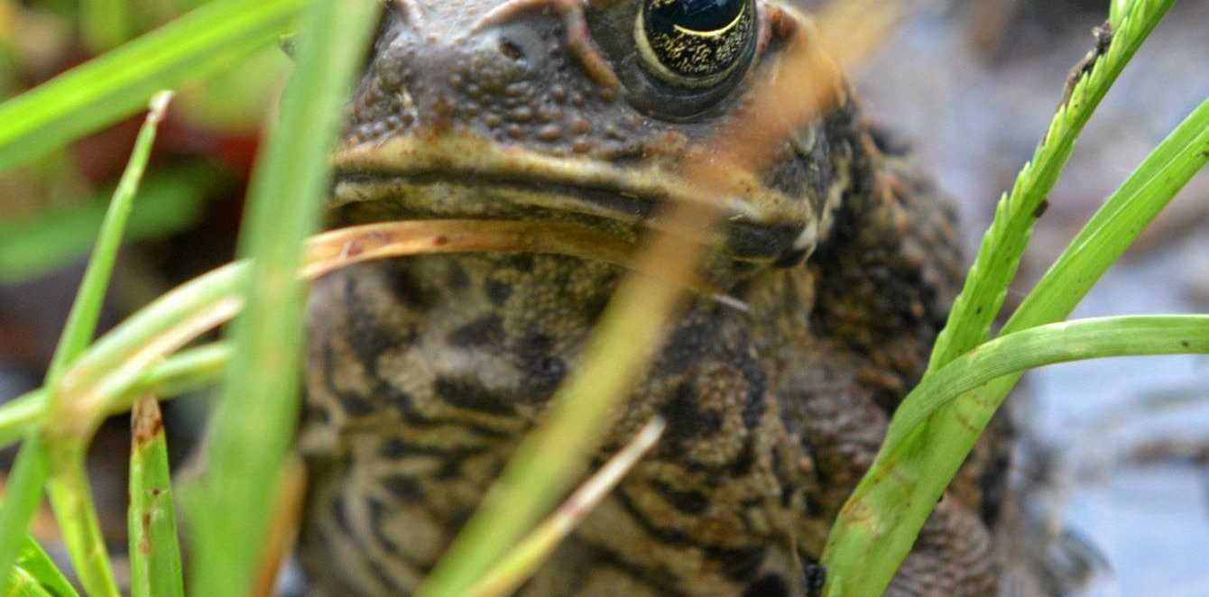 MENACE: Because of their toxicity when ingested, cane toads pose a real threat to native predators.