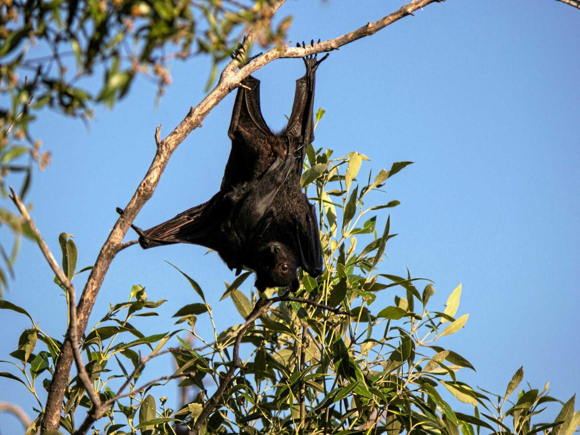 Photos submitted by Malcolm Wells of Flying Fox information day  at Appleton Park, was being held to educate the public on the Ross Creek bat colony, while also trying to address the negative stereotypes surrounding the mammals.