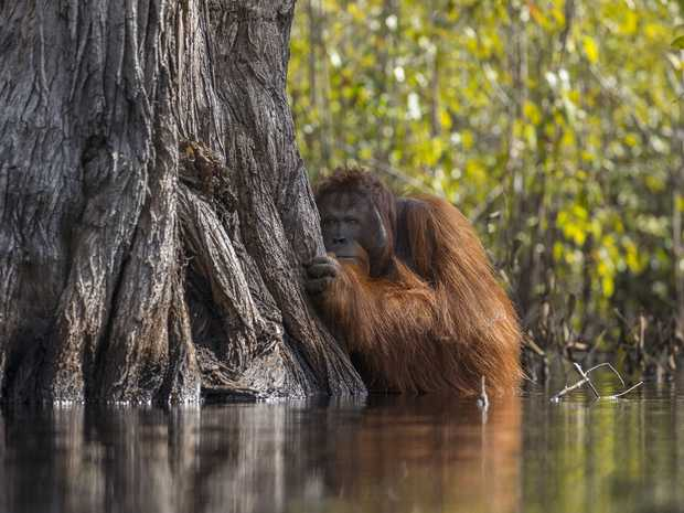A male orang-utan peers from behind a tree while crossing a river in Borneo. Rampant palm oil cultivation threatens this critically endangered ape.