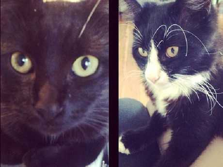 Cats Max, left and Adventure, right, from Warrimoo both went missing in September 2013. They have not been found since. Picture: Supplied