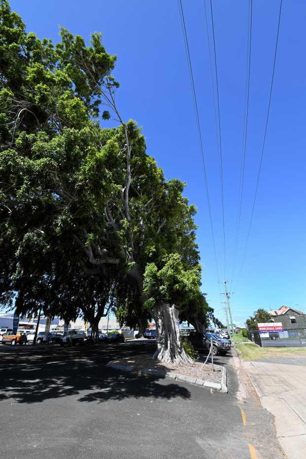 The fig trees on Woongarra Street.