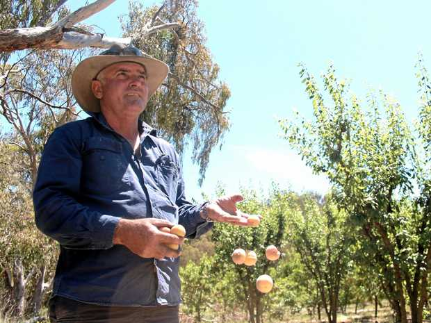 DECIMATED: Severnlea grower Tony Romeo at his property where the  influx of flying foxes is destroying his fruit.