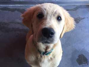 Lost dogs found in massive Ipswich drug bust