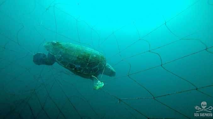 CAUGHT: Sea Shepherd found an endangered female loggerhead turtle in the shark nets off Ballina.