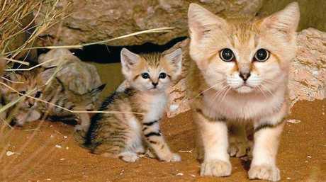 A rare sand kitten.