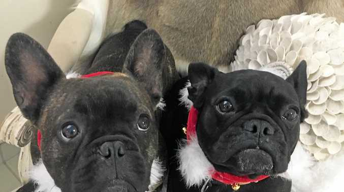 FESTIVE: French bulldogs Louise and Boris can't wait to open their presents on Christmas Day.