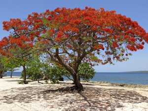 GARDEN: Majestic poincianas hard to miss