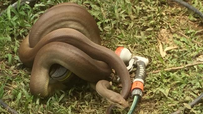 A water python getting intimate with a running shoe in a Caravonica yard