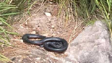 A snake near the Warriewood playground