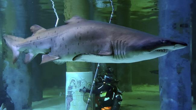 A sand tiger shark swims past scuba divers installing a majolica Christmas crib in the shark's tank at the Cattolica Aquarium in Italy. Picture: Cattolica Aquarium via AP