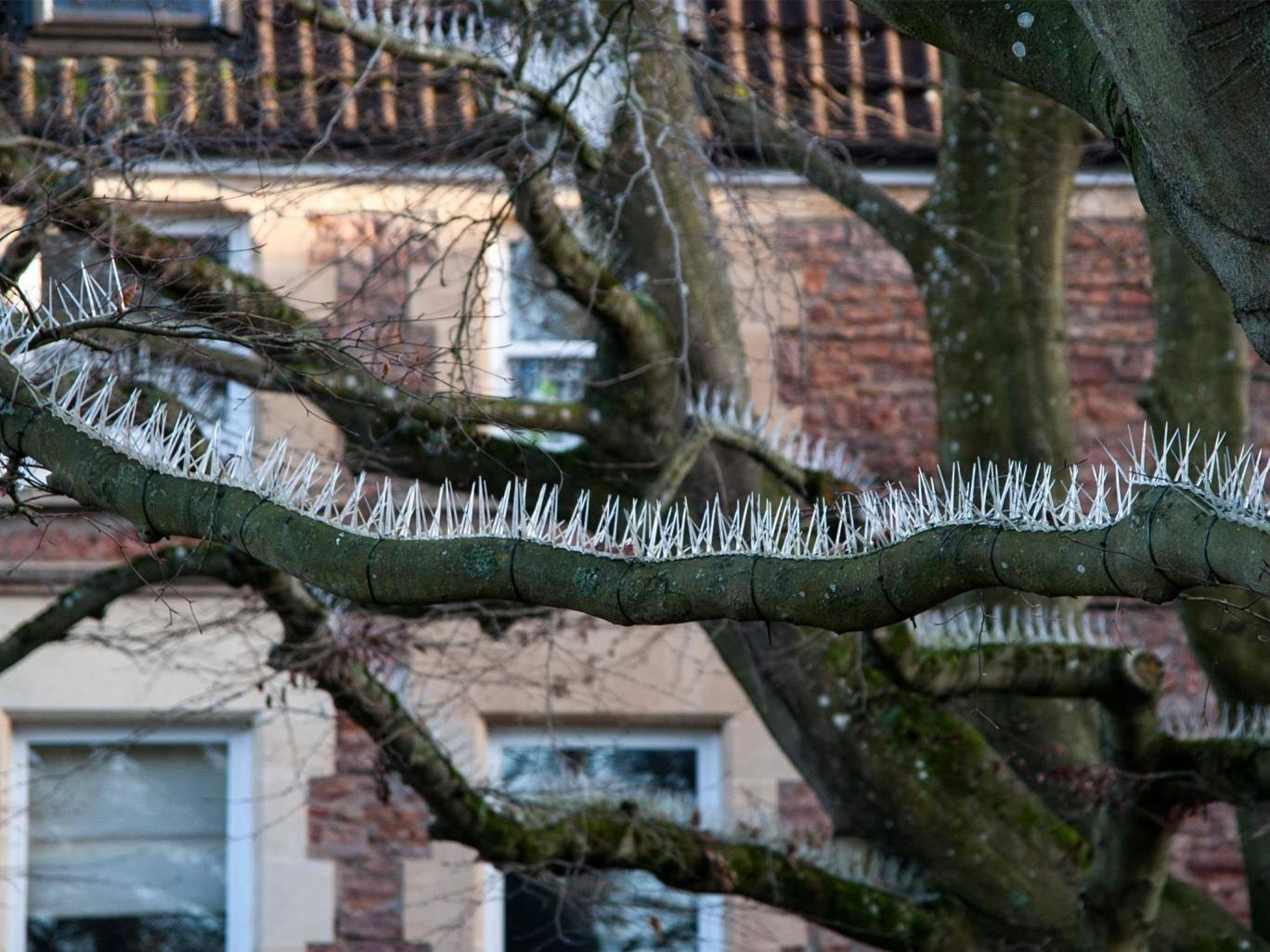 Anti-bird spikes installed on trees in Bristol SWNS