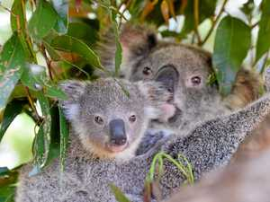 New polls show huge support for Great Koala Park