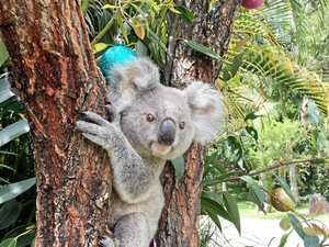 Rare koala ready to celebrate her first Christmas