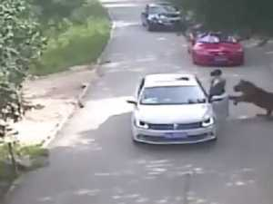 Footage shows woman being attacked and dragged away by tiger