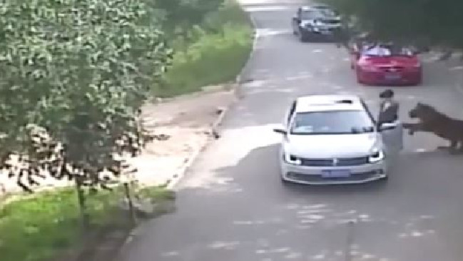 The footage shows the tiger coming up behind the woman and pulling her to the ground. Picture: CCTV/Supplied