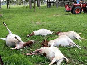Distressing: Gympie family devastated after goats massacred