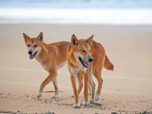 Fraser Island dingo safety warning for tourists