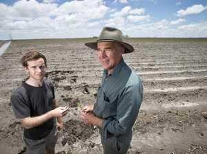 Hail decimates cotton crop
